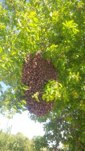 bee swarm, swarming of bees, bee colony reproduction