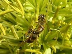 honigbienenrassen