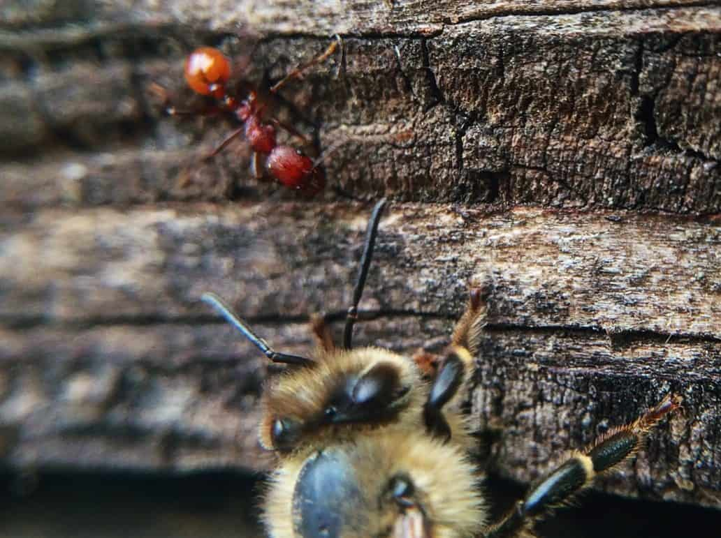Bees against ants