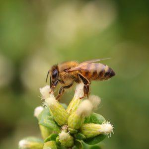 Tại sao ong chết sau khi chích?
