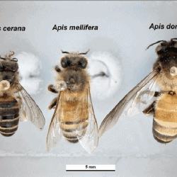 World's 8 honey bee species
