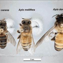 World's 8 honey bee species