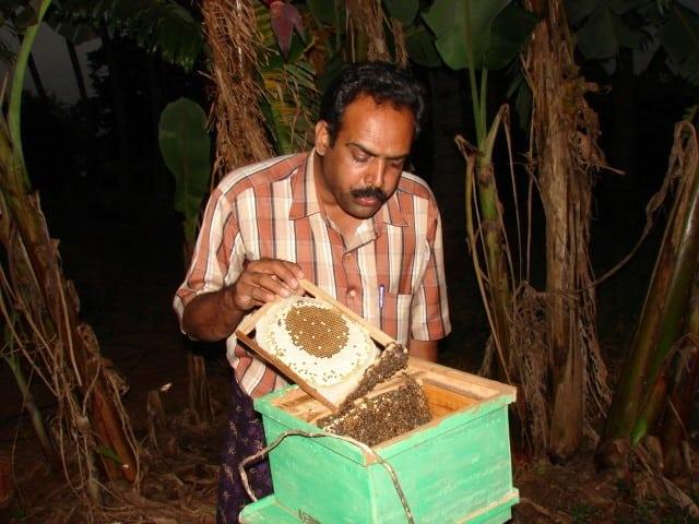 apis cerana beekeeping