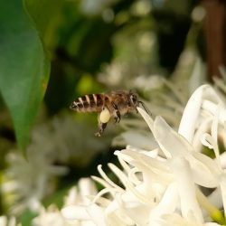 Bee-friendly flowers and plants in Vietnam and SEA